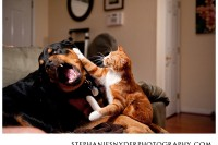 orange cat smacking Rottweiller